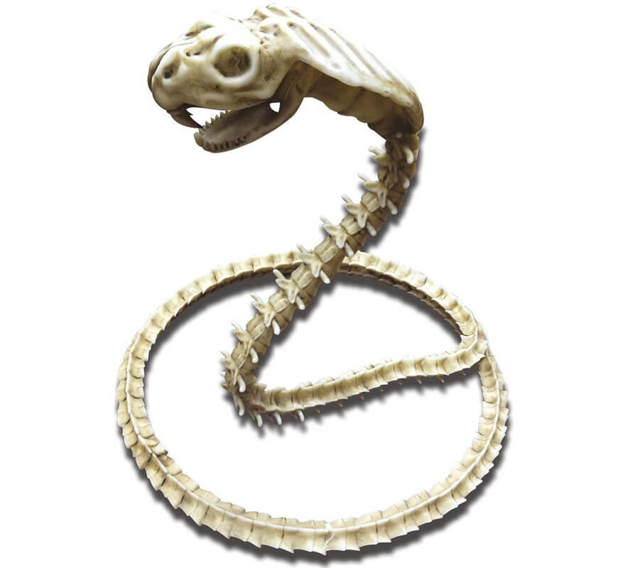 Cobra Esqueleto de 50 cm