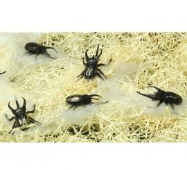 Cartón de 6 escarabajos para decoración de Hallowe